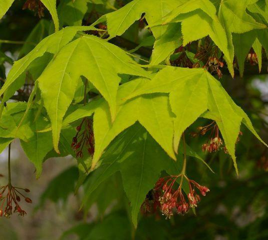 ���� aceraceae�1