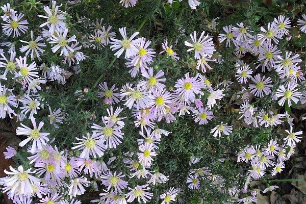 キク科 Asteraceae-18