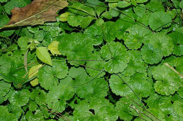 セリ科 Apiaceae-1