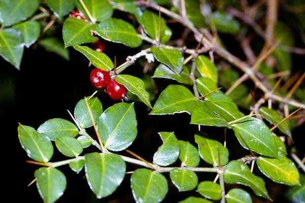 アカネ科 Rubiaceae-2