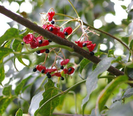ゴンズイ ゴンズイの果実 ミツバウツギ Staphylea bumalda DC. 北海道、本州