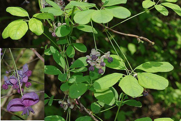 ����� lardizabalaceae