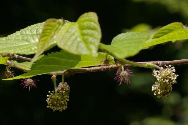 クワ科 Moraceae(エングラー)...