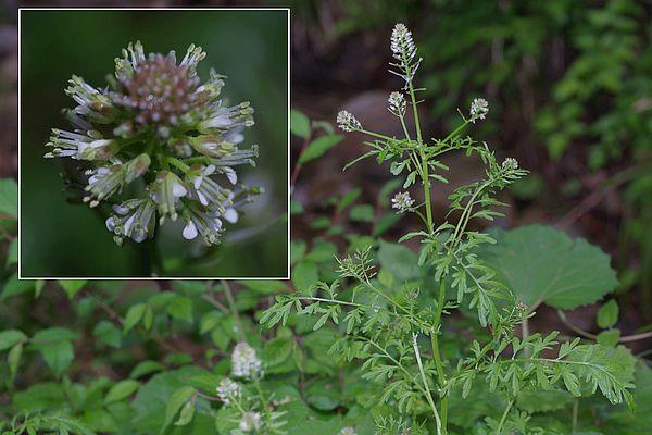 アブラナ科 Brassicaceae-4